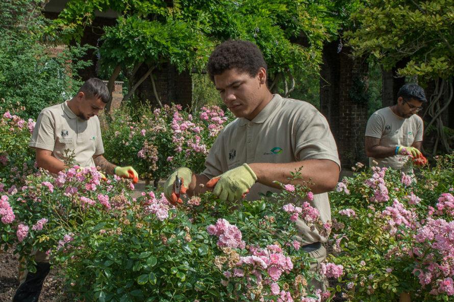 At work in Holland Park rose garden_web